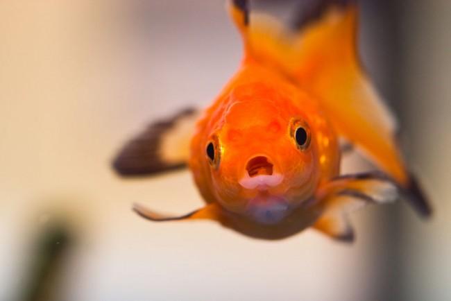 poisson-rouge-memoire