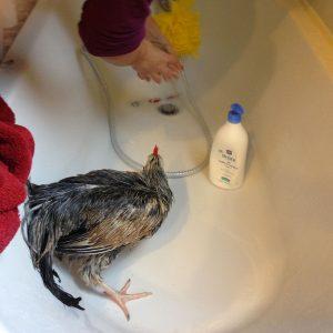 lave-poule