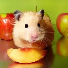 alimentation-hamster-1