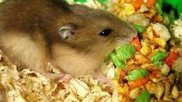 alimentation-hamster